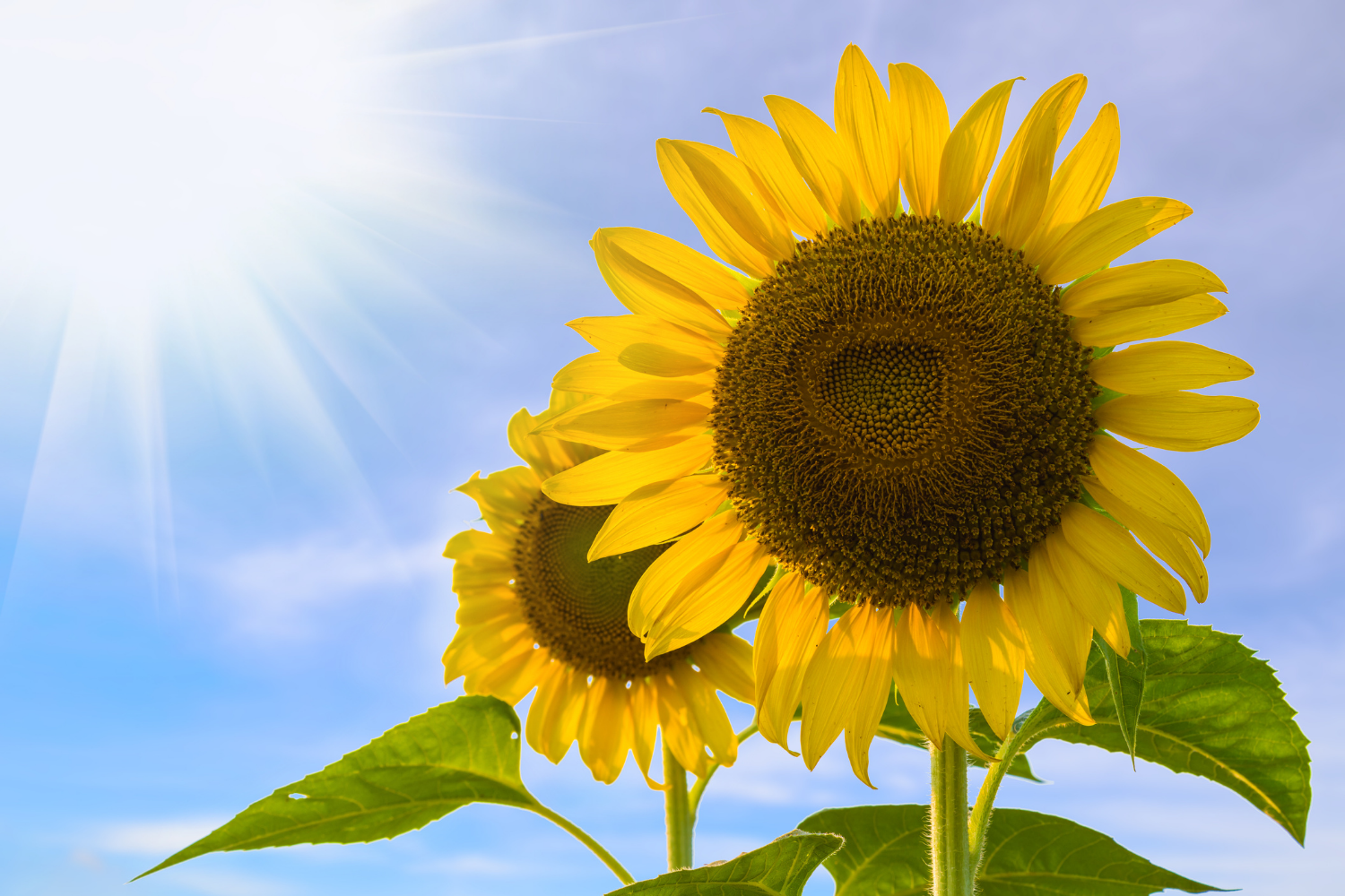 Sunflowers help with mental well-being